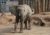 HALLESCHE Elefantenkuh Bibi ist umgezogen